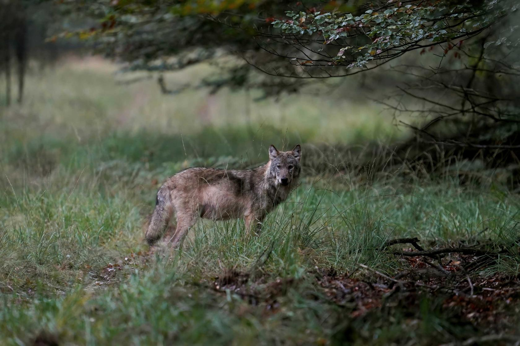 Wolf Veluwe