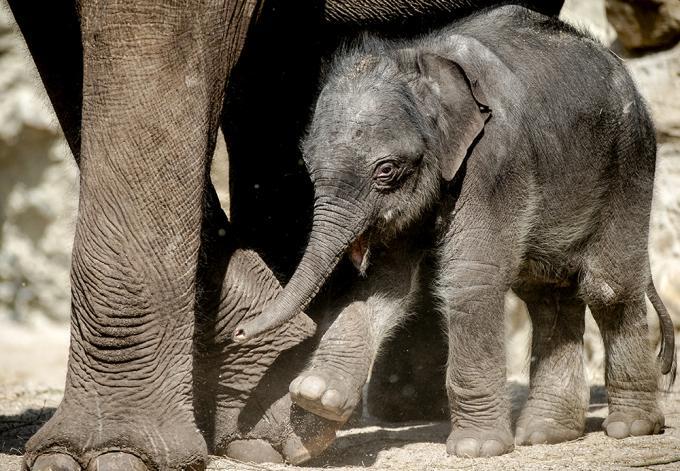 Pasgeboren olifantje in Artis mag voor het eerst naar buiten. Foto: Sem van der Wal